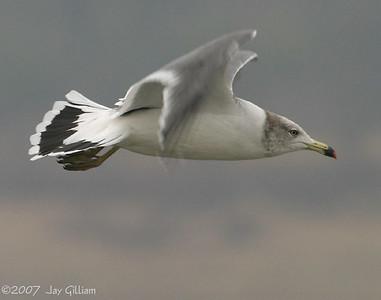 Black-tailed Gull at Saylorville Lake  11-18-07