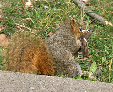 This was kind of strange...a Fox Squirrel eating a House Sparrow  11-03-07