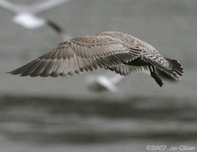 Upper wing pattern of juvenile Mew Gull below Red Rock dam  11-18-07
