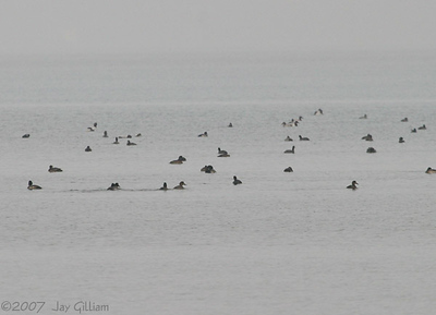 Some of the 179 Greater Scaup we saw on Angler's Bay at Spirit Lake  11-11-07