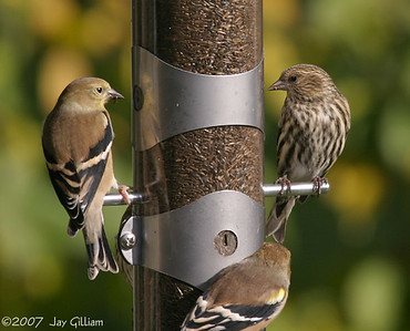 Pine Siskin & American Goldfinch  11-03-07