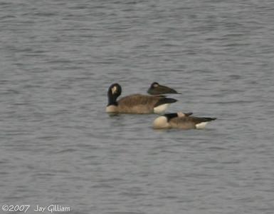 Black Scoter at Lake Ahquabi  11-10-07