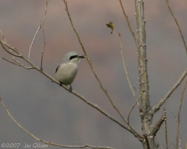 Northern Shrike at Lake Rathbun  11-10-07