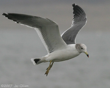Black-tailed Gull at Saylorville Lake  11-18-07