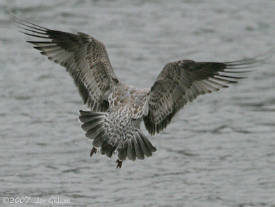 Tail pattern of juvenile Mew Gull below Red Rock dam  11-18-07
