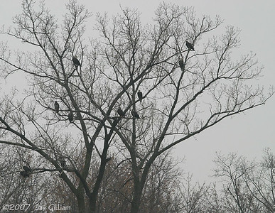 The first concentration of Bald Eagles I've seen this fall, below Red Rock dam  11-18-07