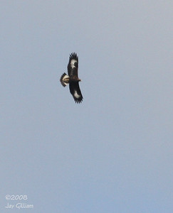 Juvenile Golden Eagle at Luther Bridge, Boone Co.  11-16-08