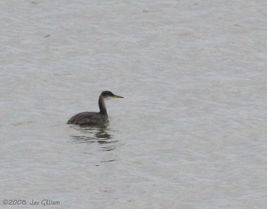 Red-necked Grebe at Saylorville Reservoir  11-13-08