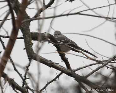 Northern Mockingbird at Lake Icaria, Adams Co.  11-22-08