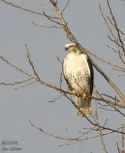 Red-tailed Hawk at Red Rock Reservoir, Marion Co.  11-1-08