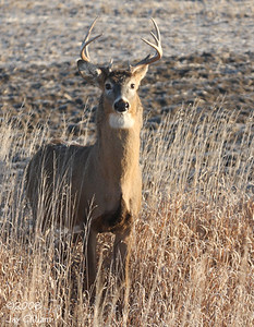 Whitetail Deer in Cerro Gordo Co.  11-27-08