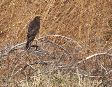 Northern Harrier at Neal Smith NWR, Jasper Co.  11-1-08