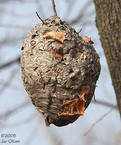 Hornet's nest at Rock Creek SP, Jasper Co.  11-1-08