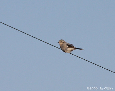 Northern Shrike in Mitchell Co.  11-27-08