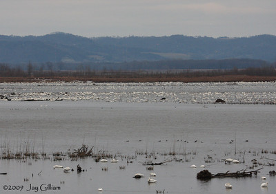 Some of the thousands of Tundra Swans on Pool 8 of the Mississippi River near Brownsville, MN  11/26/09