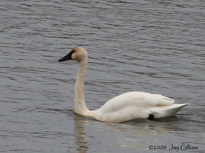 Adult Tundra Swan on Pool 8 of the Mississippi River near Brownsville, MN  11/26/09