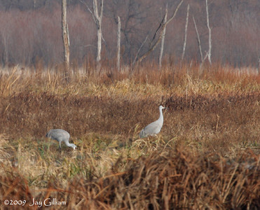Sandhill Cranes at Pool Slough in New Albin, Allamakee Co.  11/27/09