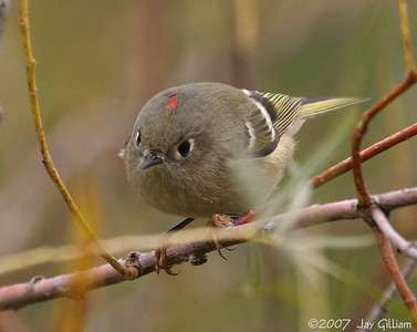 Ruby-crowned Kinglet at Saylorville  10-10-07
