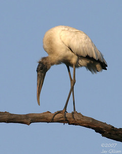 Wood Stork at Jester Park, Saturday morning  10-06-07