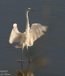 Great Egret at Jester Park  10-06-07