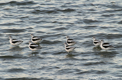 Some of the flock of 10 American Avocets at Red Rock  10-21-07