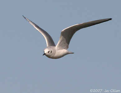 Bonaparte's Gull at Saylorville  10-20-07