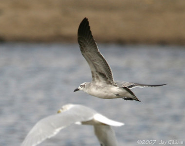 Laughing Gull, underwing pattern 10-06-07