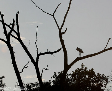 Wood Stork at Jester Park, Friday night   10-05-07