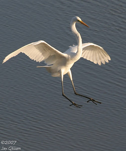 Great Egret at Jester Park  10-06-07