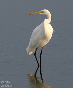 Great Egret at Union Slough NWR