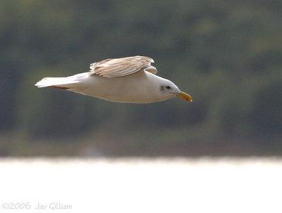 Lesser Black-backed Gull at Red Rock