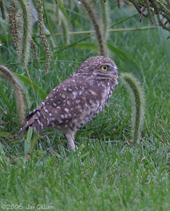 Burrowing Owl at Seven Cities Sod Farm, Scott Co.