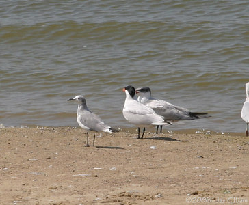 Laughing Gull at Red Rock