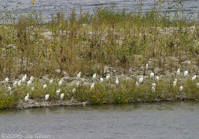 Some of the 68 Cattle Egrets resting on the jetty at Lakeview RA at Saylorville