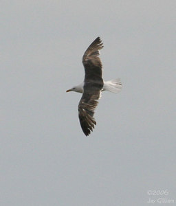 Lesser Black-backed Gull at Red Rock