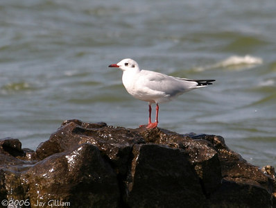 Black-headed Gull at Spirit Lake
