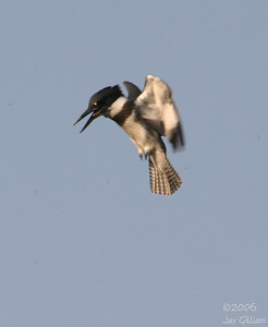 Belted Kingfisher ready to dive