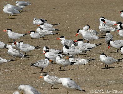 Caspian Terns at Red Rock