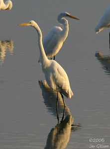 Great Egrets at Union Slough NWR