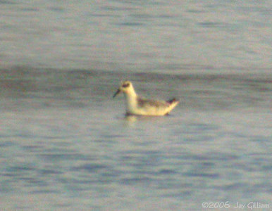 Red Phalarope at Union Slough NWR