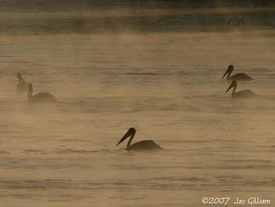 Pelicans in the mist below Red Rock dam  01 September