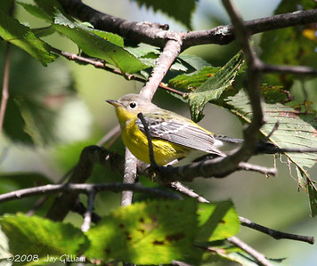 Magnolia Warbler at Walnut Woods  09-07-08
