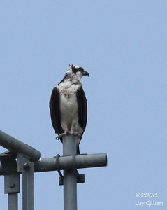 Osprey near Walnut Woods SP.  09-01-08