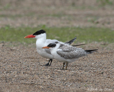 Caspian Terns at Oak Grove Beach  09-10-08