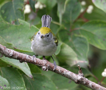 Chestnut-sided Warbler at Walnut Woods  09-06-08