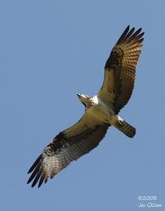 Osprey near the Wapsi Greenbelt, Bremer Co.  09-20-08