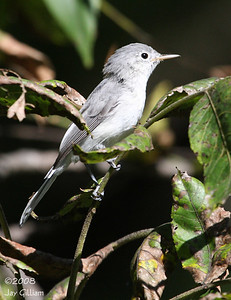 Blue-gray Gnatcatcher at Walnut Woods  09-07-08