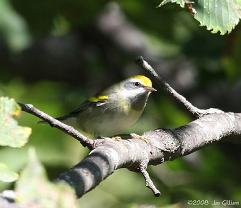 Golden-winged Warbler at Walnut Woods  09-07-08
