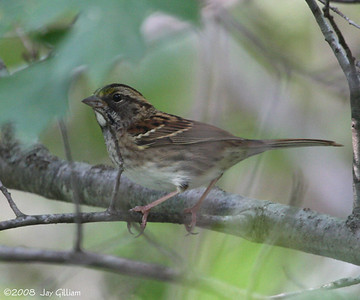 My first White-throated Sparrow of the season at Sweet Marsh, Bremer Co.  09-20-08