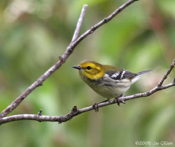 Black-throated Green Warbler at Walnut Woods  09-06-08